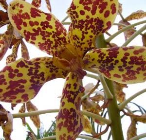 Orchid of the Week: Grammatophyllum speciosum