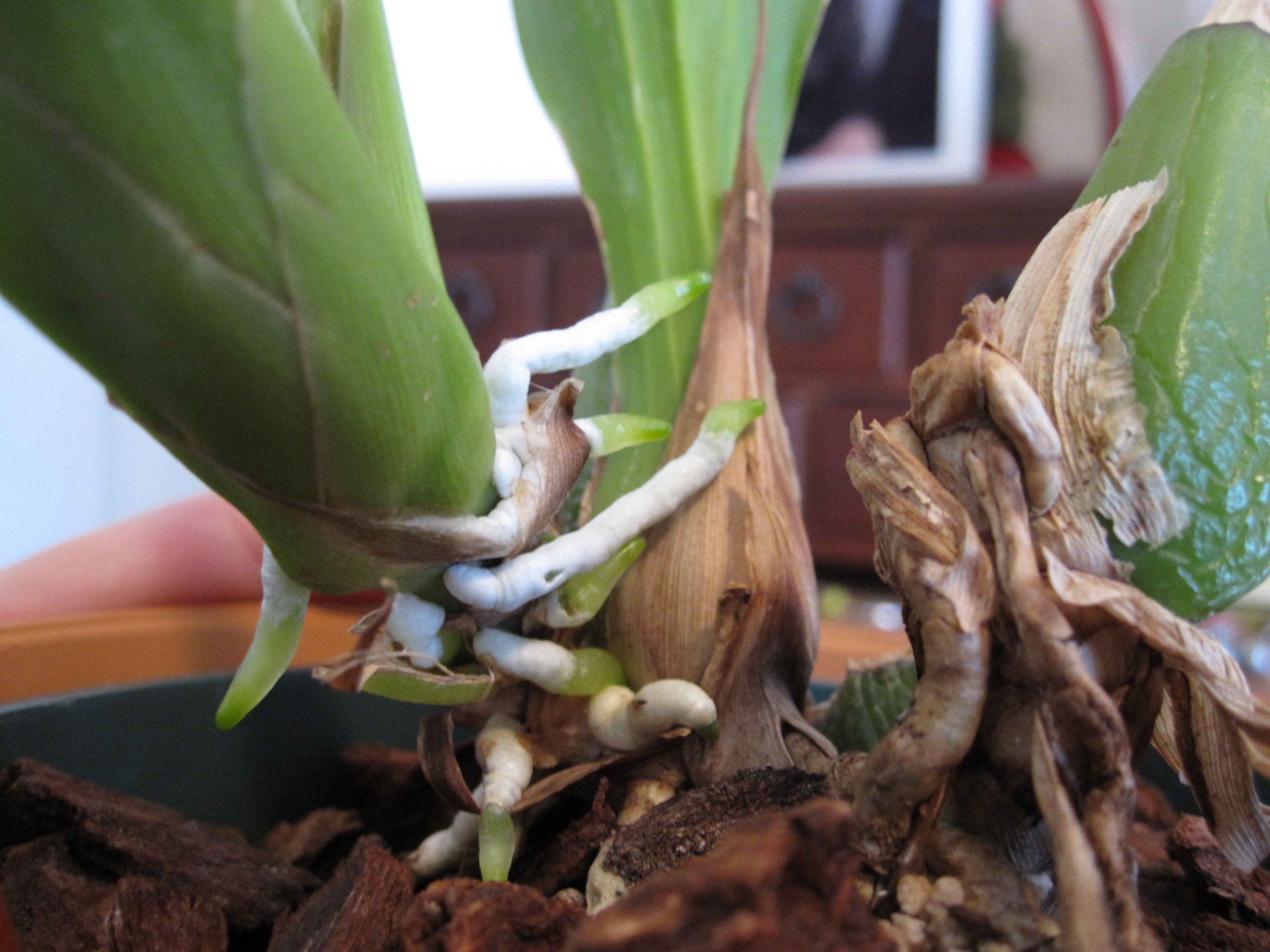 Как пересадить орхидею пошагово