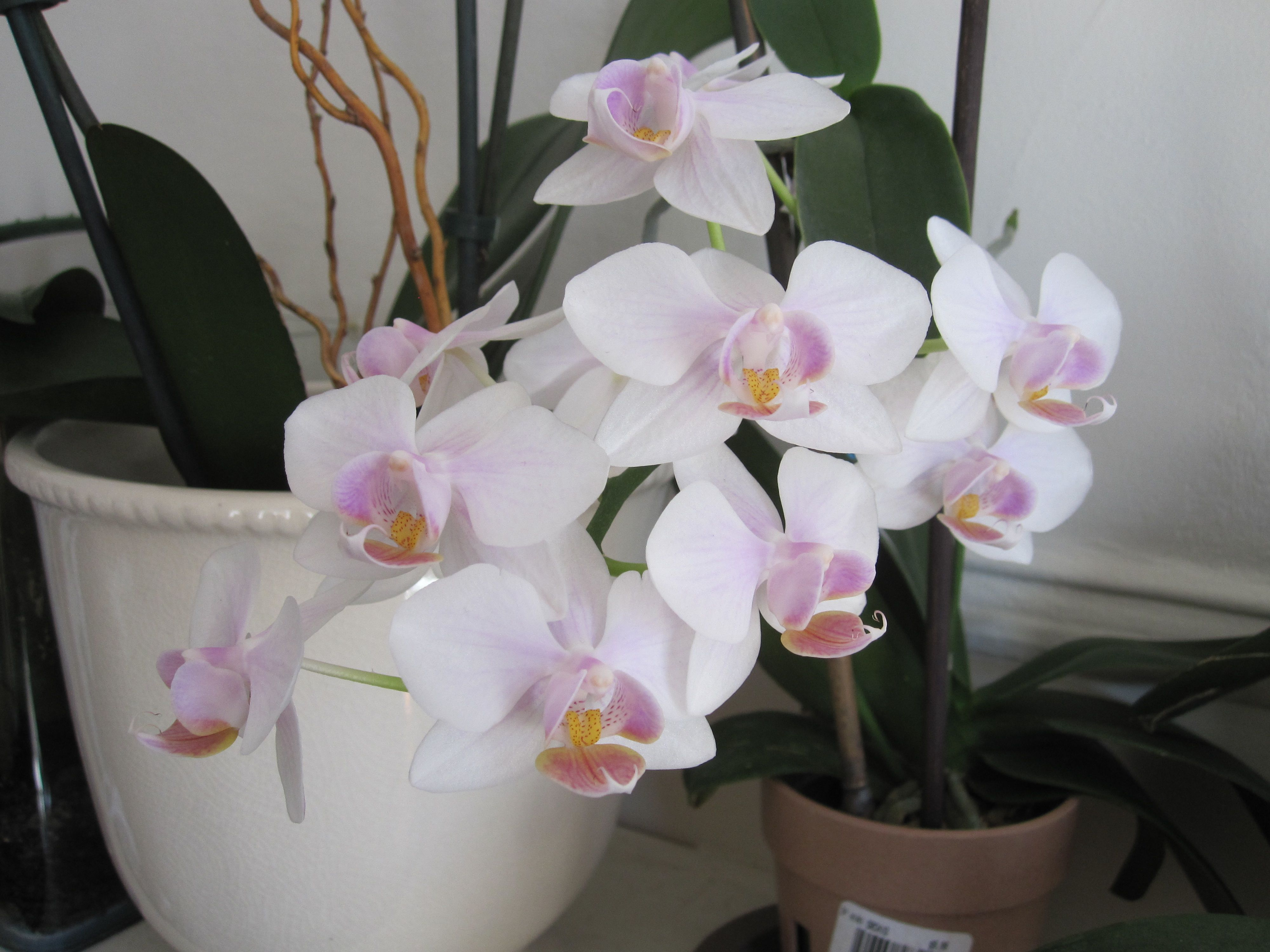 Phal from Trader Joe's...so many flowers on this one!