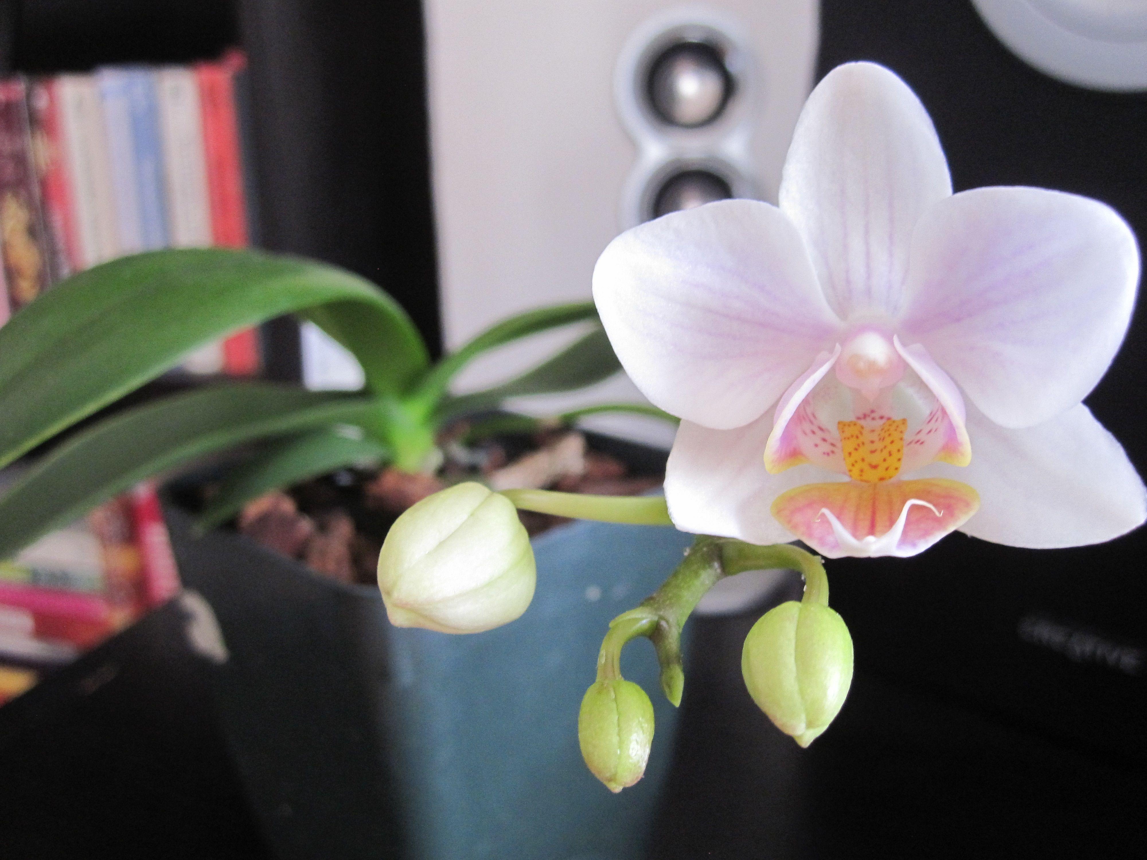 orchid keiki in bloom